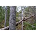 Senarelagd avverkning skapar viktiga naturvärden i produktionsskog
