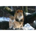 Neuigkeiten im Katzenrevier: Sonntagsführung des Rostocker Zoovereins geht zu Löwe, Jaguar & Co.