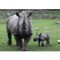 Noshörning född på Borås Djurpark!