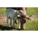 Thema zum Weltmilchtag (1.6.):  Tiergerecht und wirtschaftlich: die muttergebundene Kälberaufzucht – Interview mit Landwirtin Mechthild Knösel