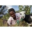 Black Friday: Køb én ged – betal for to