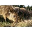 Pressinbjudan: Sverige övar sin förmåga att hantera afrikansk svinpest