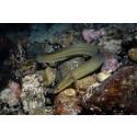 Nio av tio fiskbutiker säljer hotad ål till jul