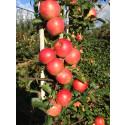 Äpplet Frida – ett smakrikt svenskt äpple.