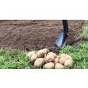 Över 120 orter satte potatis för ökad matsäkerhet