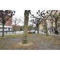 Nu flyttas åtta av Clemenstorgets träd till Brunnshög