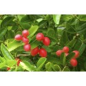 Global Wolfberry Sales Market Size, Share, Development and Demand Forecast to 2025