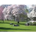 Japan 2014 i Botaniska trädgården - äntligen börjar det!