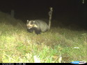 Badgers caught on camera