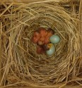 Flycatcher nestlings