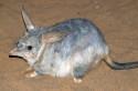 Endangered desert Bilby (Macrotis lagotis)