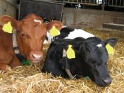 Verdens beste helsevesen - for kalver og kyr