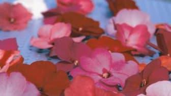 Månadens Blomma – mars. Lyckliga Lotta och Pensé