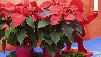 Julblommor - en lysande affär i adventstider!