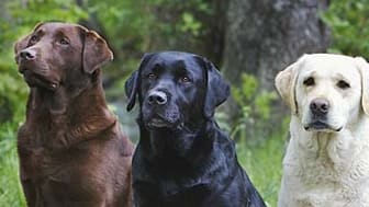 Labrador retriever är nu störst – efter 44 år i toppen petas schäfern ner från tronen