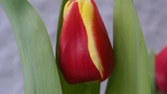 Lite gott och blandat om tulpaner och en Prins i vasen!