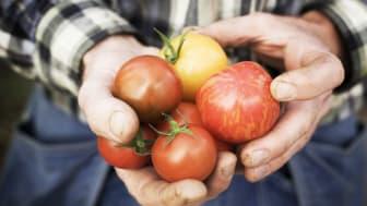 Klimatsmarta KRAV-tomater