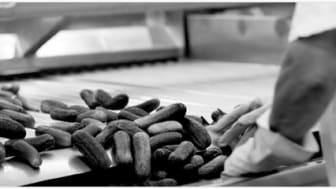 Såddtid för Procordia – 20 miljoner potatisar i den sydsvenska myllan