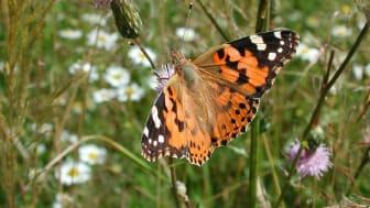 Fjärilars föda orsak till nya arter