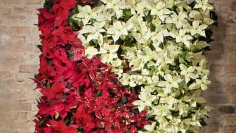 Väggplantering med julstjärnor