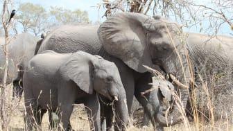 Elefanter. Foto: Elizabeth le Roux