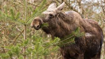 – Konkurrensen om föda från de mindre hjortarterna kan alltså tvinga älgen att äta mer tall, vilket kan öka skogsskadorna, säger Robert Spitzer, doktorand vid SLU, institutionen för vilt, fisk och miljö. Foto: Hanna Knutsson