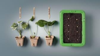 Plantera sticklingar