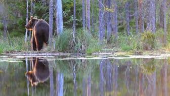 Beslut om licensjakt efter björn i Värmlands län 2018