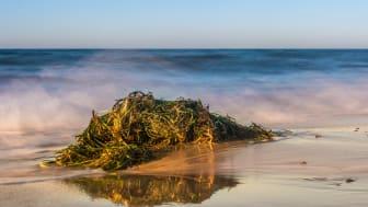 Nicht nur ein Ärgernis am Strand: Seegras eignet sich hervorragend für die Gebäudedämmung