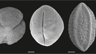 Fossilt pollen