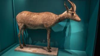 Bekräftad blåbock. En dna-undersökning visade att blåbocken som står utställd på Naturhistoriska riksmuseet i Stockholm är äkta. Enstaka kvarlevor från blåbock finns idag på få museer i Europa. Blåbocken är utdöd sedan år 1800.