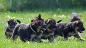 Tysk schäferhund placerade sig som två under 2020. Foto: Tina Johansson