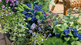 Månadens blomma april 2009 – Vårflirt och lyckliga Lotta