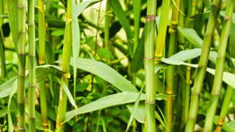 Was ist eigentlich Bambuspulver?