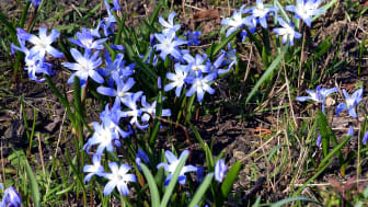 Frühlingsgruß aus Taucha - Foto: Andreas Liefeith