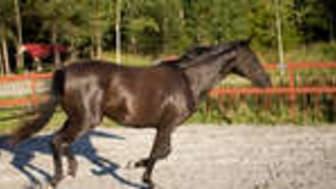 Högt betyg för hästforskning som stöds av Stiftelsen Hästforskning och Formas