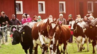 WWF Sverige gav rött ljus för icke-ekologisk ost från utlandet på grund av brister i djurhållning och stor användning av antibiotika, varför mässan fokuserar på ost gjord av svenska råvaror.