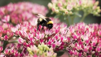 Flera av våra viktiga vildbin och humlor är hotade. Blomsterlandet stödjer Naturskyddsföreningens kampanj Operation: Rädda bina. Foto: Jörgen Hinder/Blomsterlandet