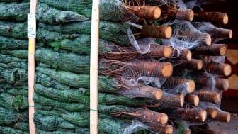 Danske juletræer kan give grøn varme til over 3500 boliger