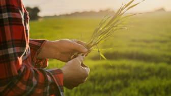 Egen foderproduktion är en viktig del i arbetet med att sänka klimatavtrycket på gård