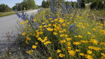 En blommande vägkant vid Hau på Gotland med bland annat blåeld, färgkulla och gulreseda. Foto: Mats Lindqvist (Trafikverket).
