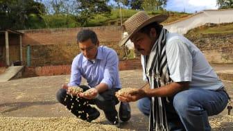 Inspektion av kaffebönor under soltorkning