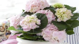 Rosa hortensia