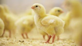 Minskad förekomst av campylobacter i kyckling