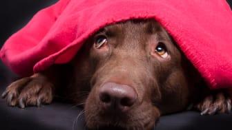Många hundar skräms av smällandet kring nyår.