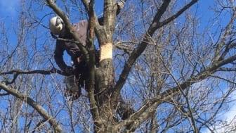 Påskyndat åldrande av träd skapar bättre livsmiljö för många arter