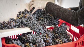 Skörderapport från Solna – Fina druvor och skön stämning när vinhantverket står i fokus