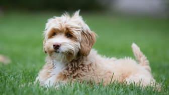 Bosse, Doris och Molly är de tre mest populära hundnamnen 2020. Foto: Sveland Djurförsäkringar