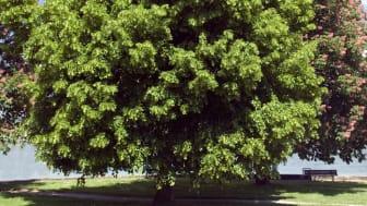 Farnesol wird u.a. aus Lindenblüten gewonnen. Bild: emer I Fotolia