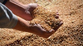 Vær opmærksom på foderblandinger efter tør høst
